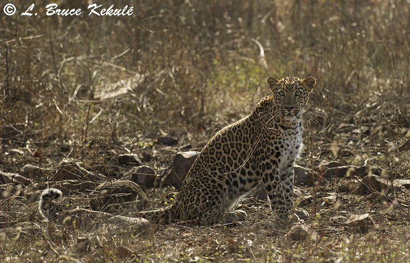 Leppard in Tadoba