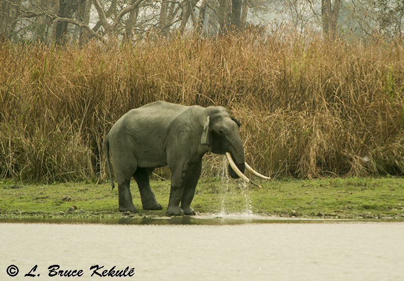 Elephant bull in Kaziranga NP