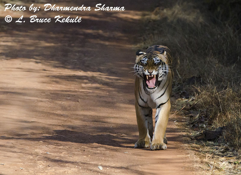 Choti Tara female tiger in Tadoba