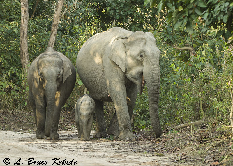 Elephant mother, calf and baby in Corbett National Park