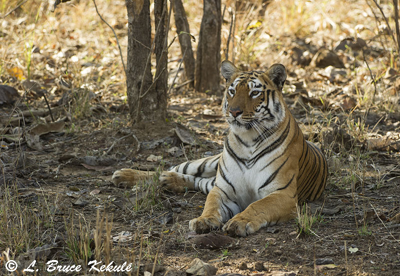 Tiger female 'Maya' in Tadoba National Park