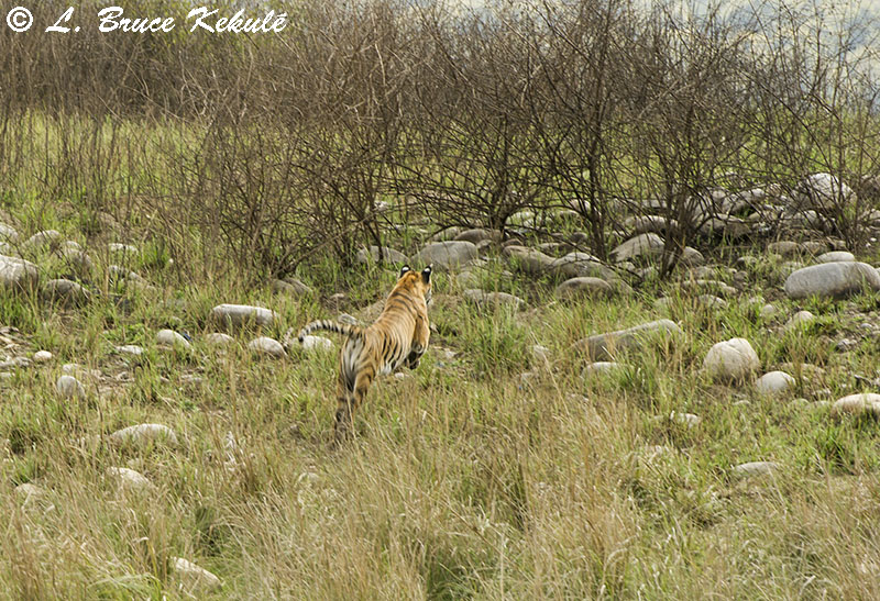Tiger female on the run in the grassland at Dhikala, Corbett Nat