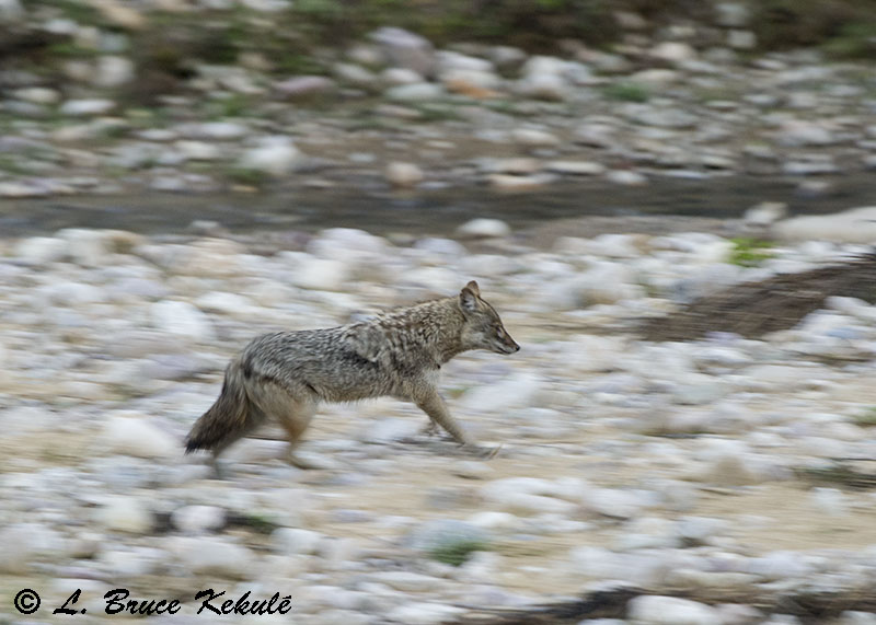 Asian jackal near the lodge at Bijrani, Corbett National Park