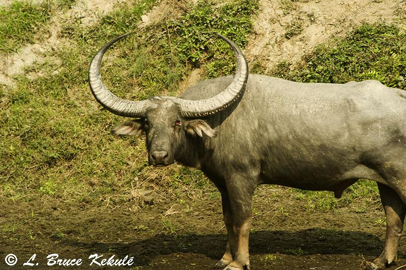 Wild water buffalo Kaziranga NP1