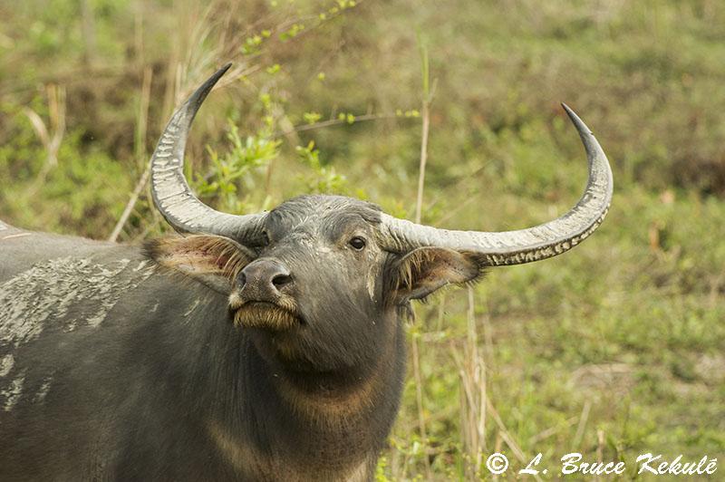 Wild water buffalo Kaziranga NP