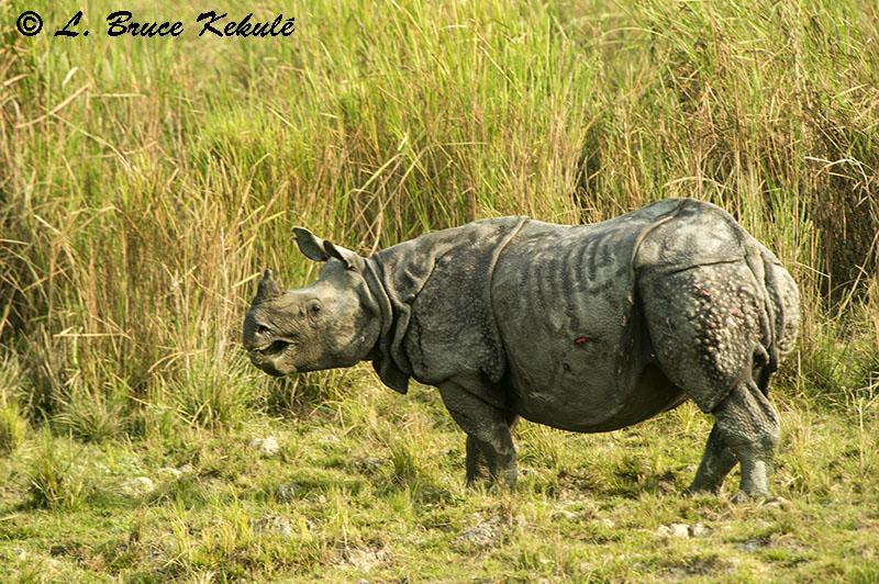 Rhino in Kaziranga NP1