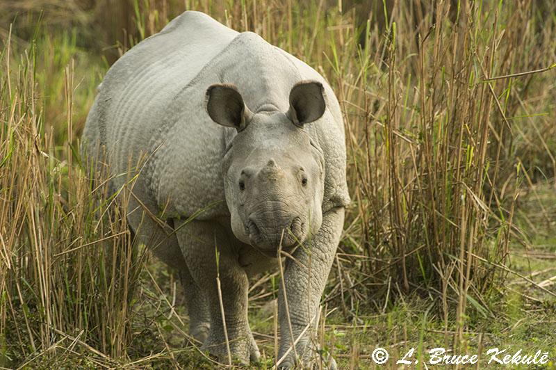 Rhino in Kaziranga NP3
