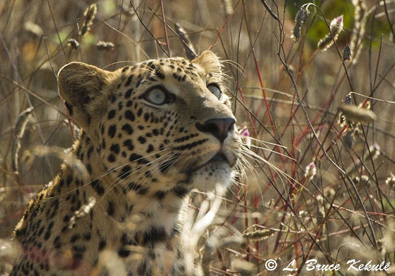 Leopard female close to its kill in Tadoba National Park