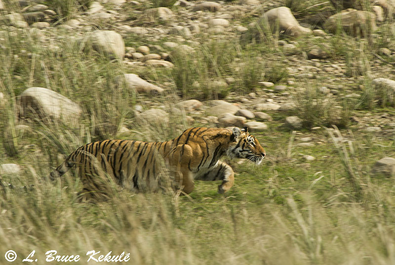 Tiger on the run in Corbett2