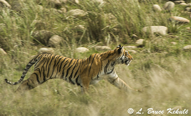 Tiger on the run in Corbett1