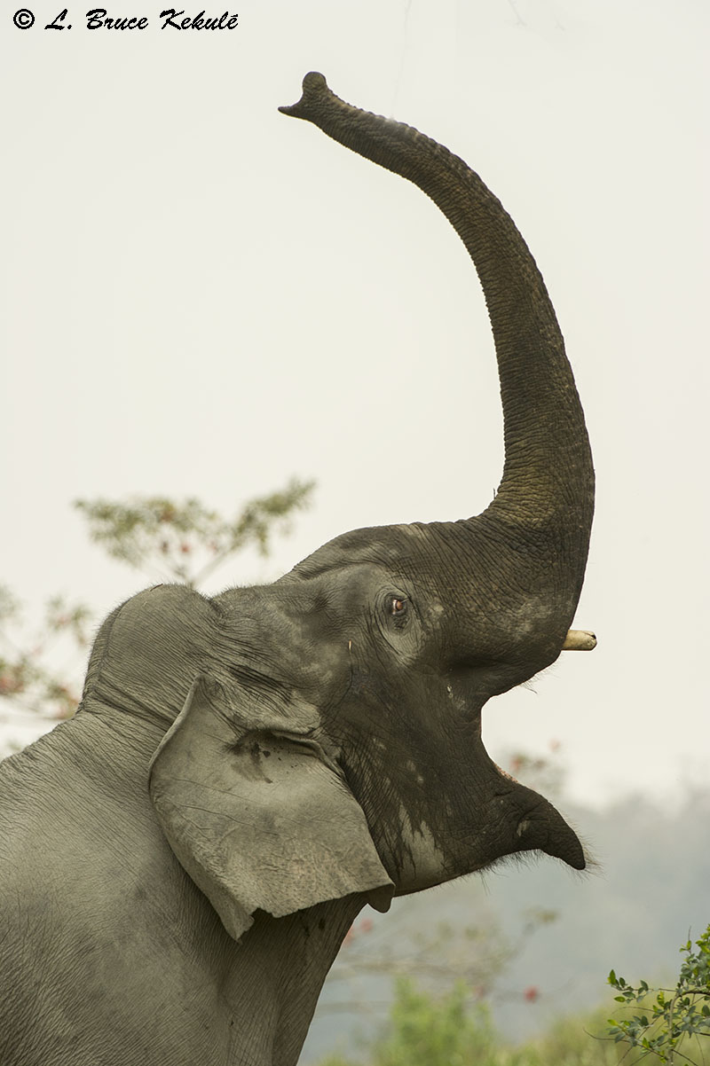 Young elephant bull in Kaziranga NP