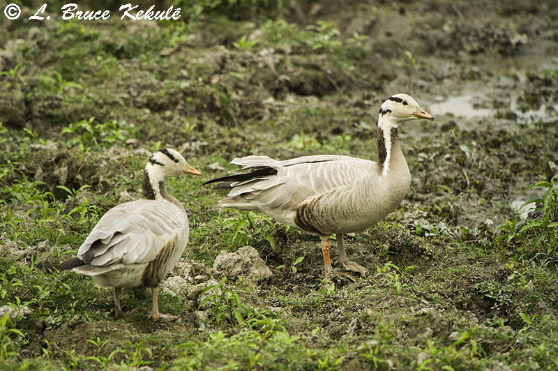 Bar-winged goose in Kaziranga