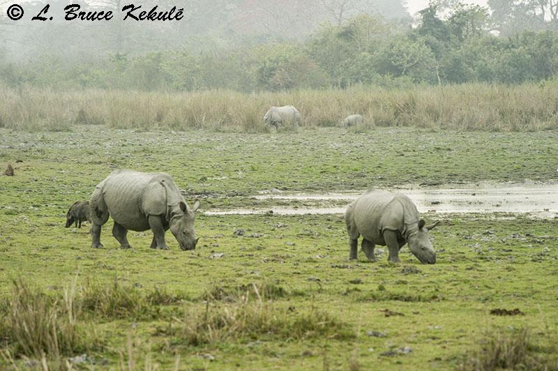 Rhino in Kaziranga NP
