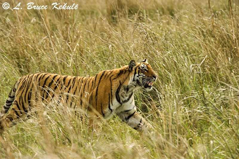 Tiger female in the grassland at Dhikala, Corbett National Park