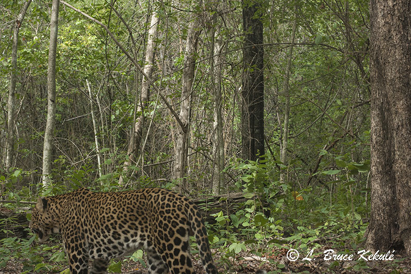 Leopard male in Huai Kha Khaeng Wildlife Sanctuary