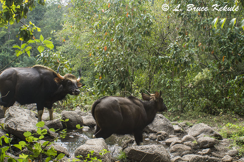Gaur at Bong Hin in HKK