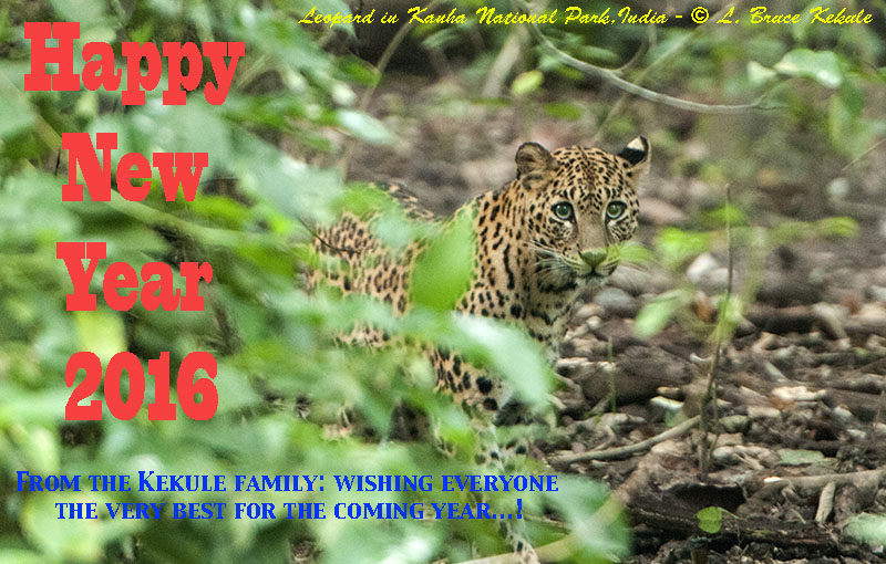 Leopard female in Kanha National Park and Tiger Reserve, M.P. India