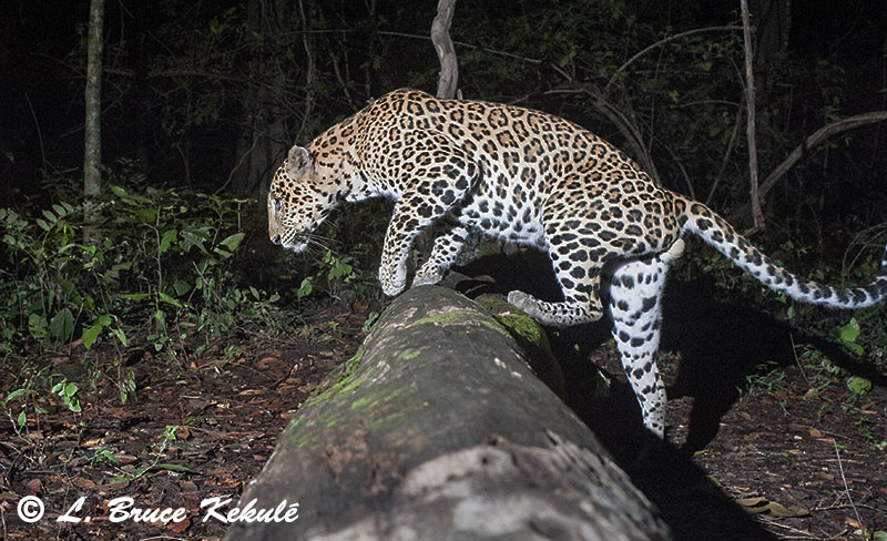 Male Leopard crosses 'tiger log'
