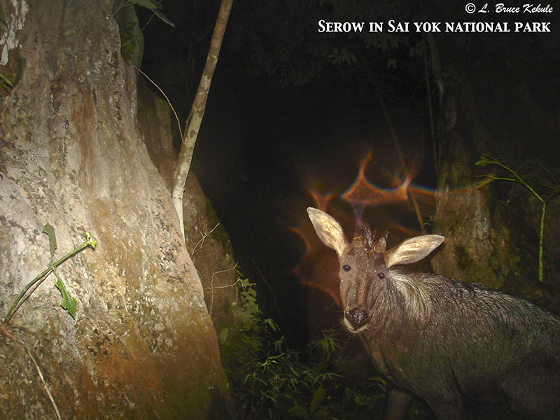 Serow camera-trapped in Sai Yok reserved forest, western Thailand