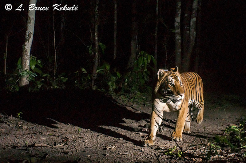A500 tiger male with collar