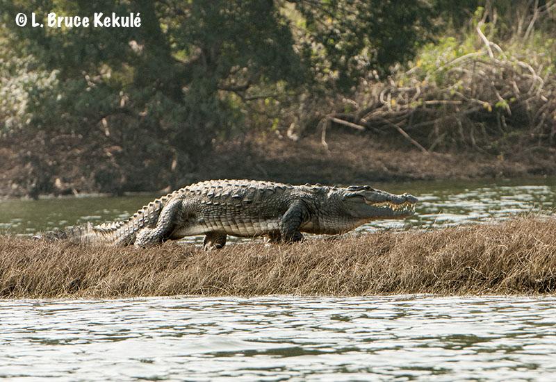 mugger-croc-2-web
