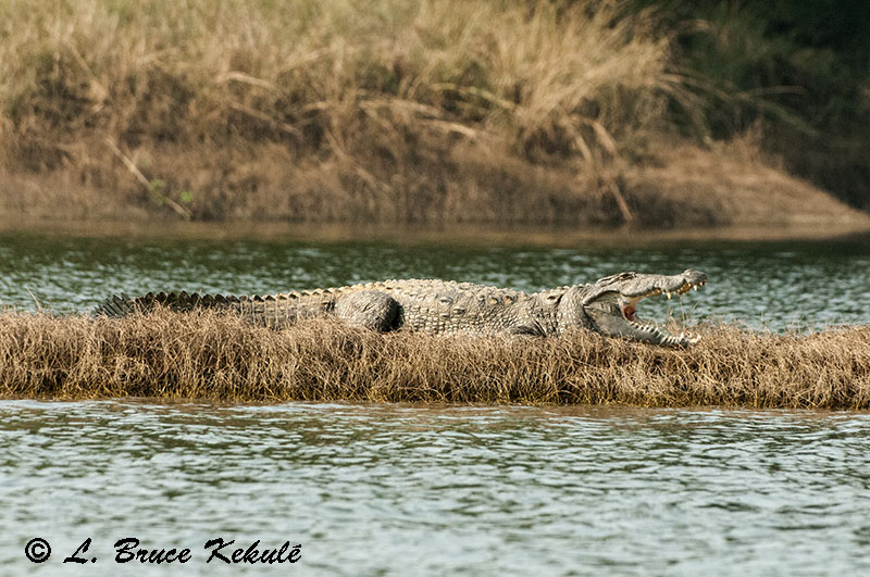 Mugger croc at Satpura-Nov. 2015-w