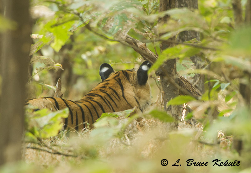 Female three-fanged tiger no-1