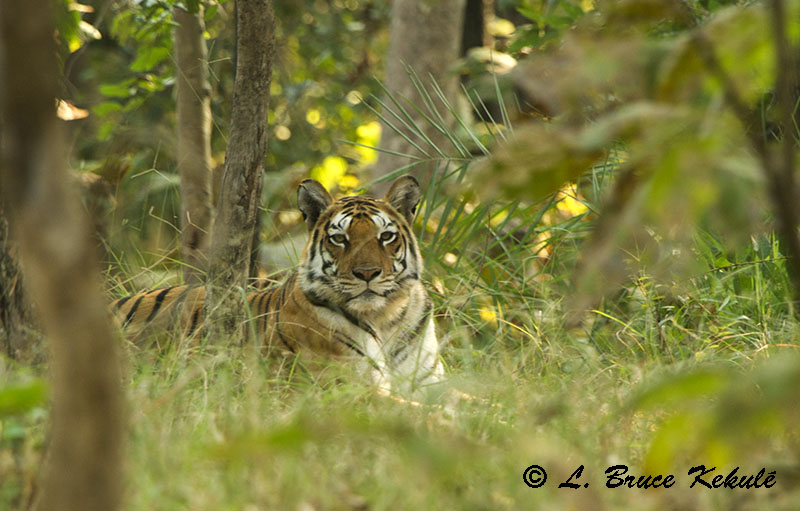 Female tiger in the afternoon at Pench