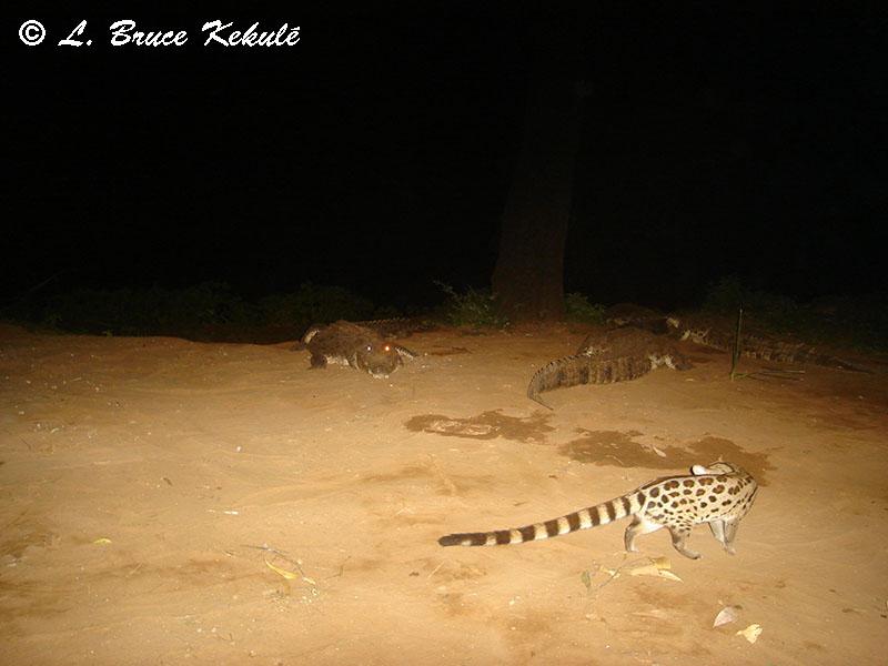 Genet and nile crocodiles in Samburu NP, Kenya