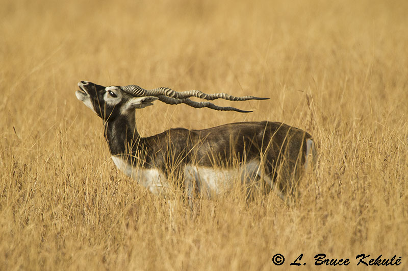 Blackbuck male 1 Blackbuck National Park - Veladavere