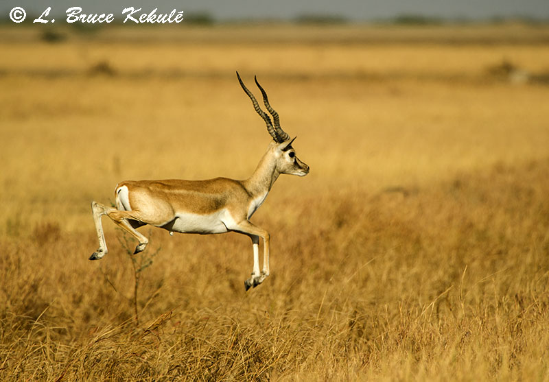 Blackbuck male 1 flying Blackbuck National Park - Veladavere