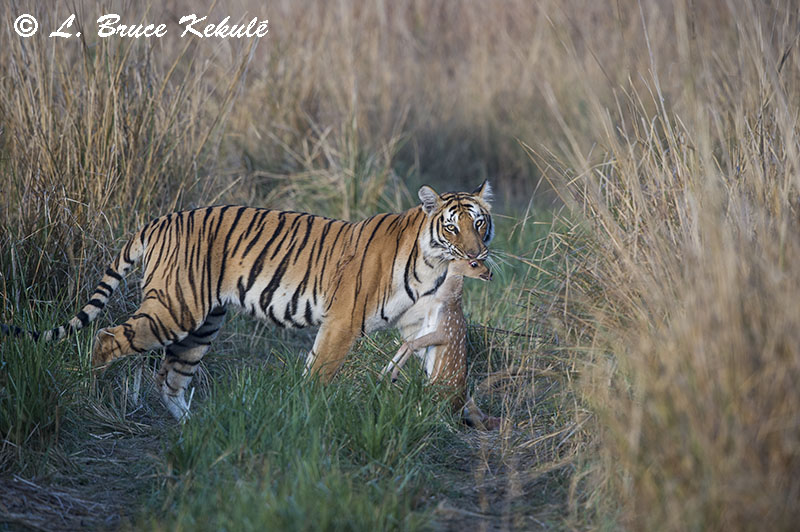 Female tiger with a spotted deer kill in Corbett NP