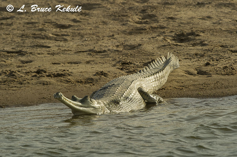 Gharial crocodile by the Chambal River