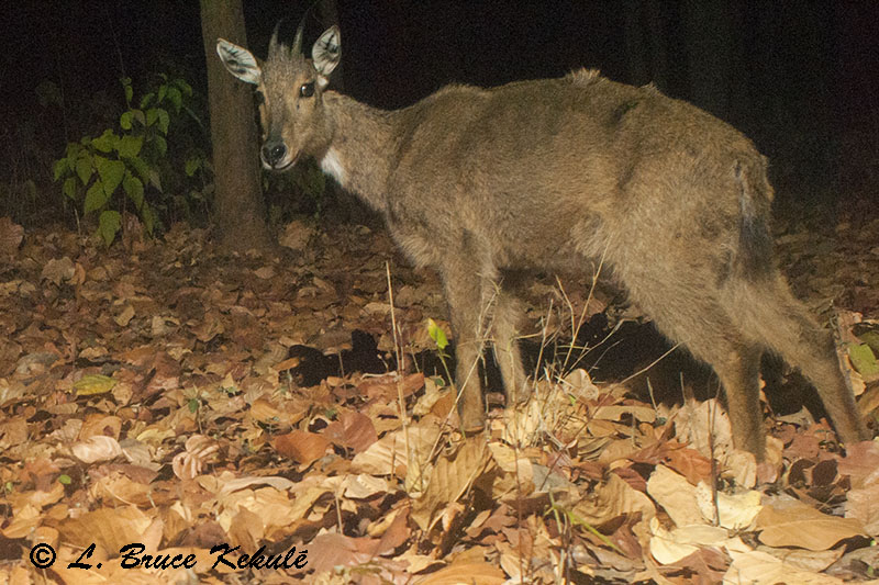 Goral in Vanghat Wildlife Reserve