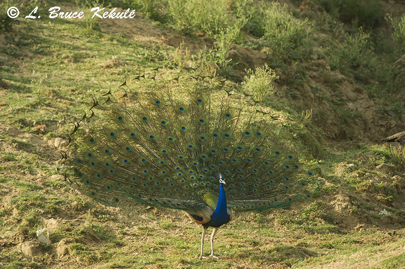 Indian peafowl male in Chambal