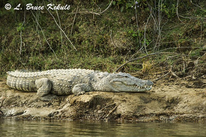 Mugger crocodile by the Chambal River