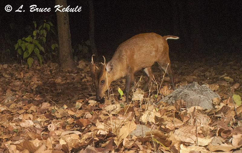 Muntjac in Vanghat Wildlife Reserve