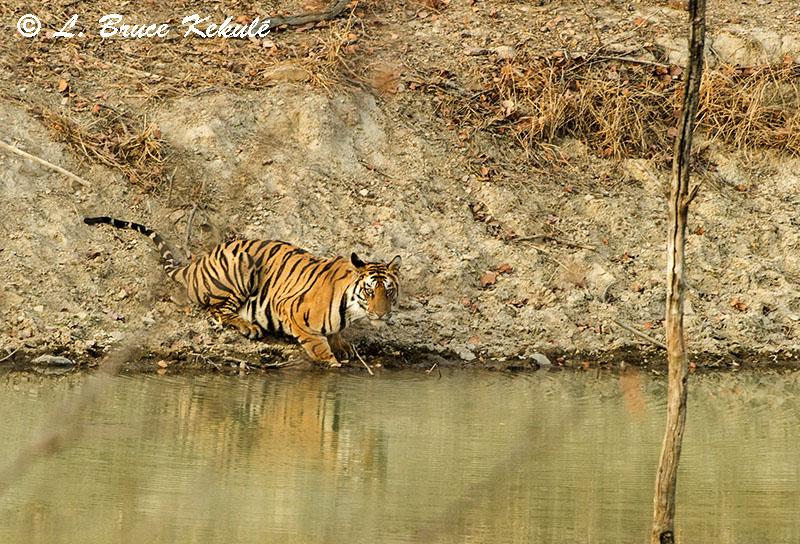 Panna tiger cub 1