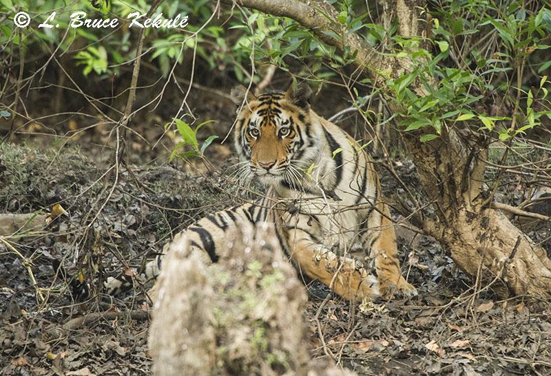 Panna tiger cub 2