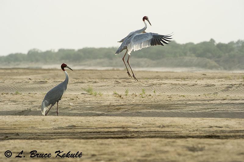 Sarus cranes at Chambal River, Agra