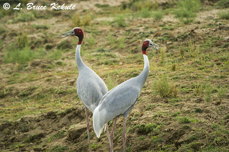 Sarus cranes at Chambal River, Agra