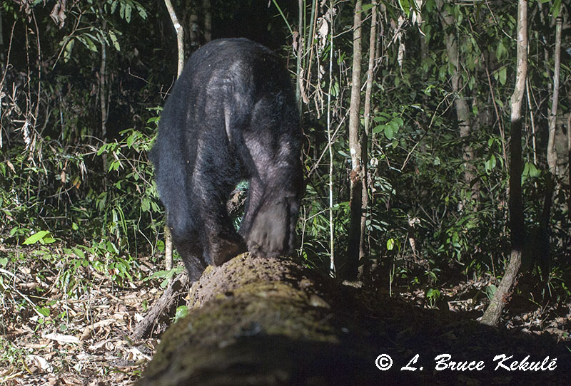 black bear on new log in HKK, western Thailand