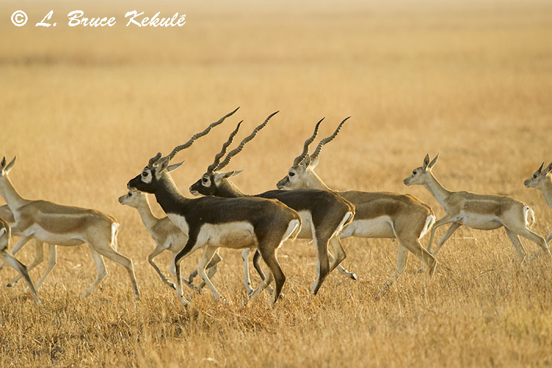 Blackbucks on the run in Blackbuck National Park - Veladavor