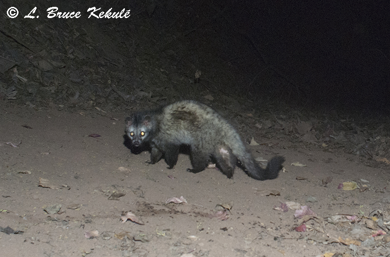 Common Palm civet at Ken River Lodge in Panna Tiger Reserve