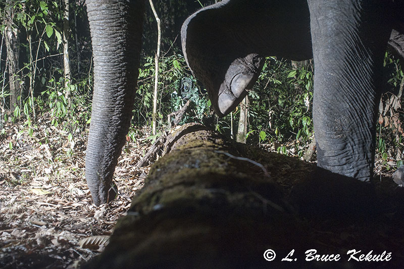 Elephant trunk, foot and leg in HKK, Western Forest Complex, Thailand