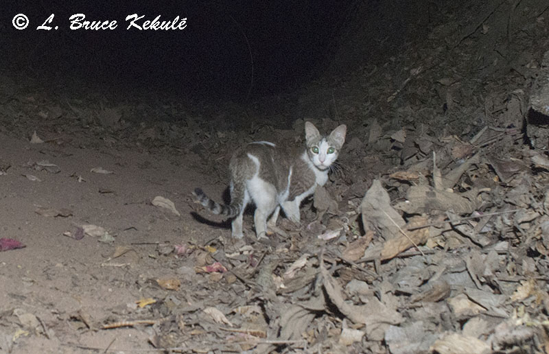 Feral cat at Ken River Lodge in Panna Tiger Reserve, India