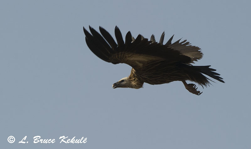 Himalayain Vulture flying in Panna Tiger Reserve