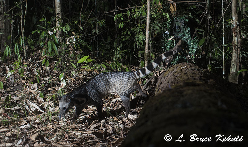 Large Indian Civet in HKK, Western Thailand