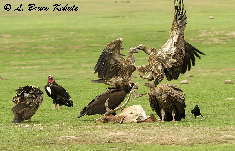 Vultures on a dead spotted deer in Corbett Tiger Reserve