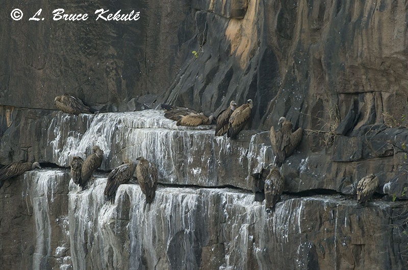 Vultures on a cliff-face in Panna